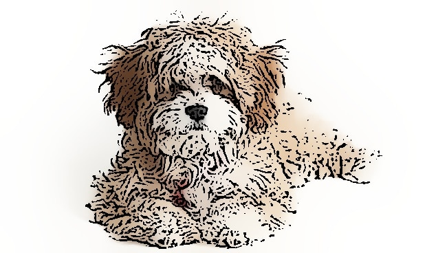 Cavapoo feeding guide
